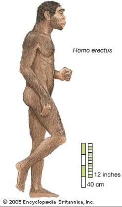 Homo erctus