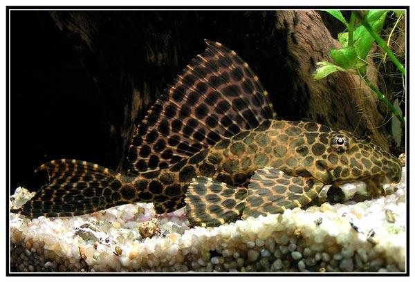 pesce pulitore